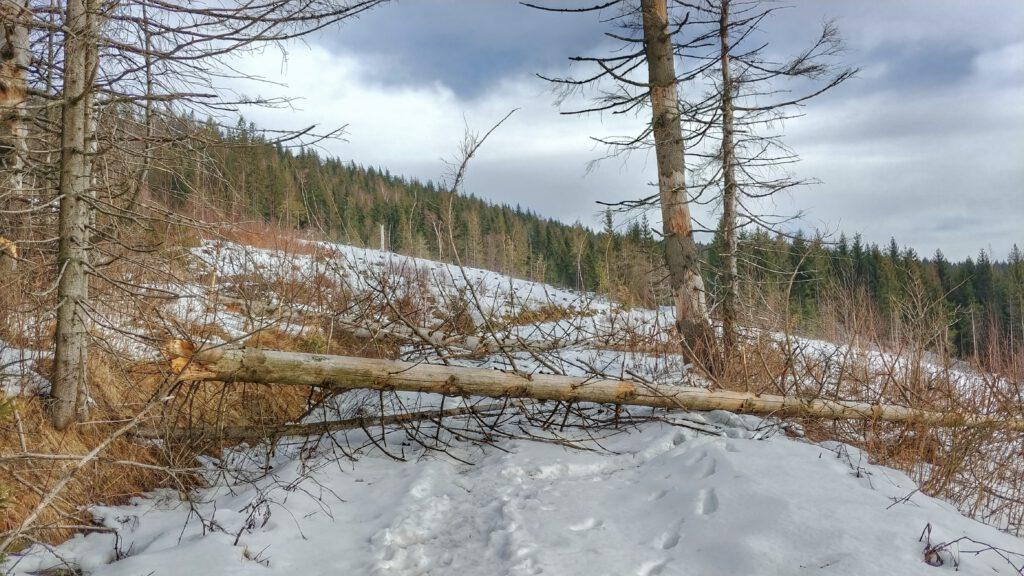 zwalone drzewa na szlaku