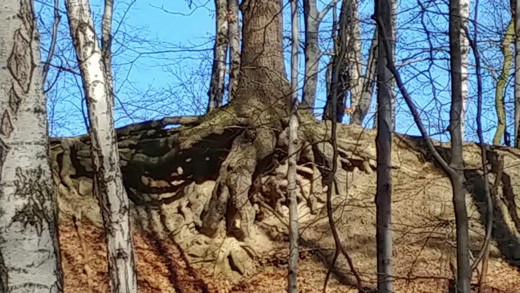 korzenie drzewa na zboczu góry