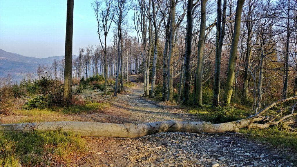 powalone drzewo na szlaku