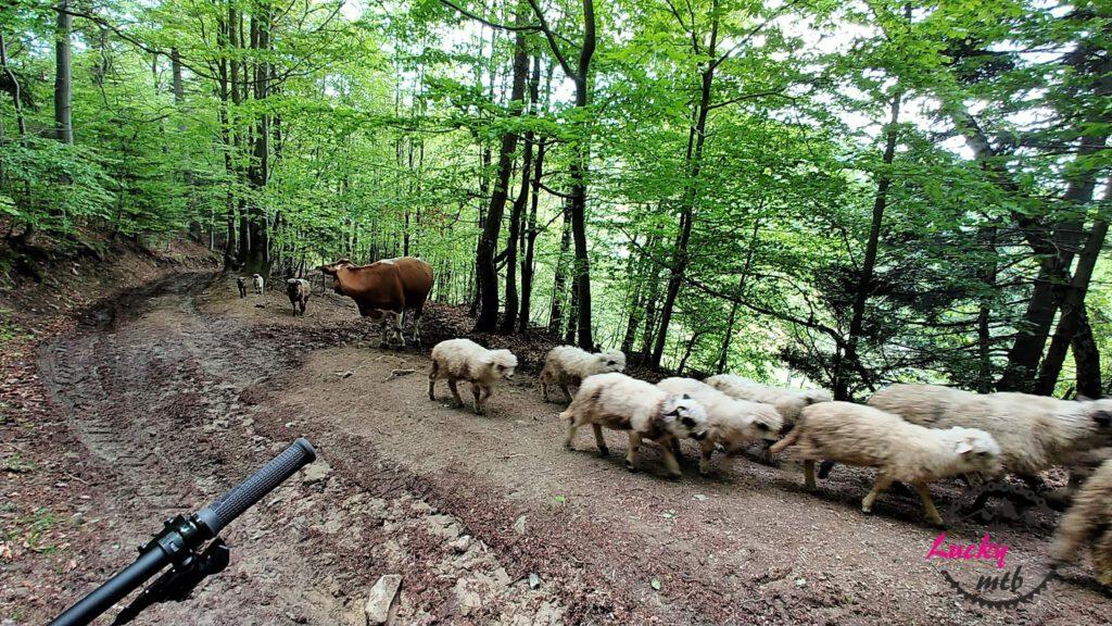 owce idą przez las