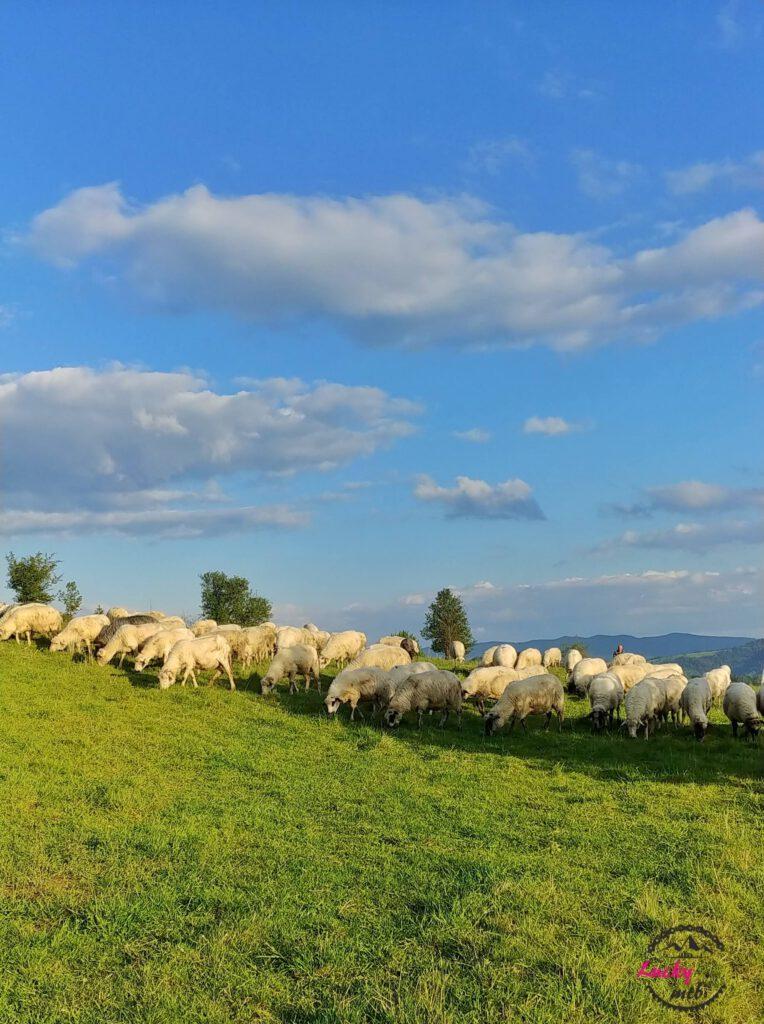 stado owiec na hali