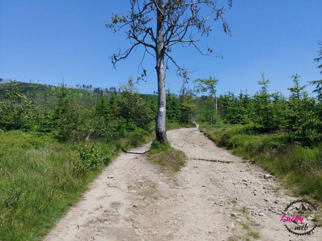 drzewo na szlaku